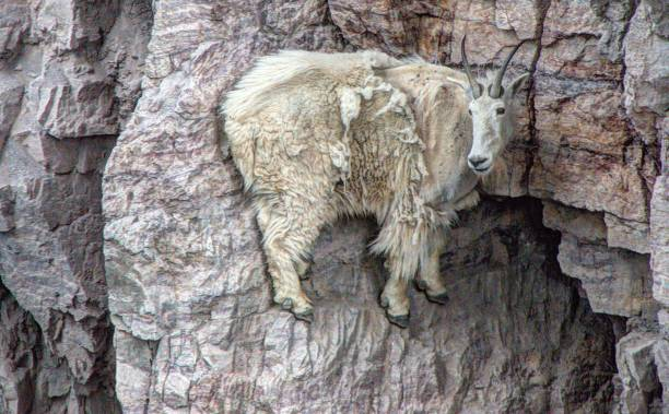 rocky mountain goat - british columbia glacier national park stock pictures, royalty-free photos & images