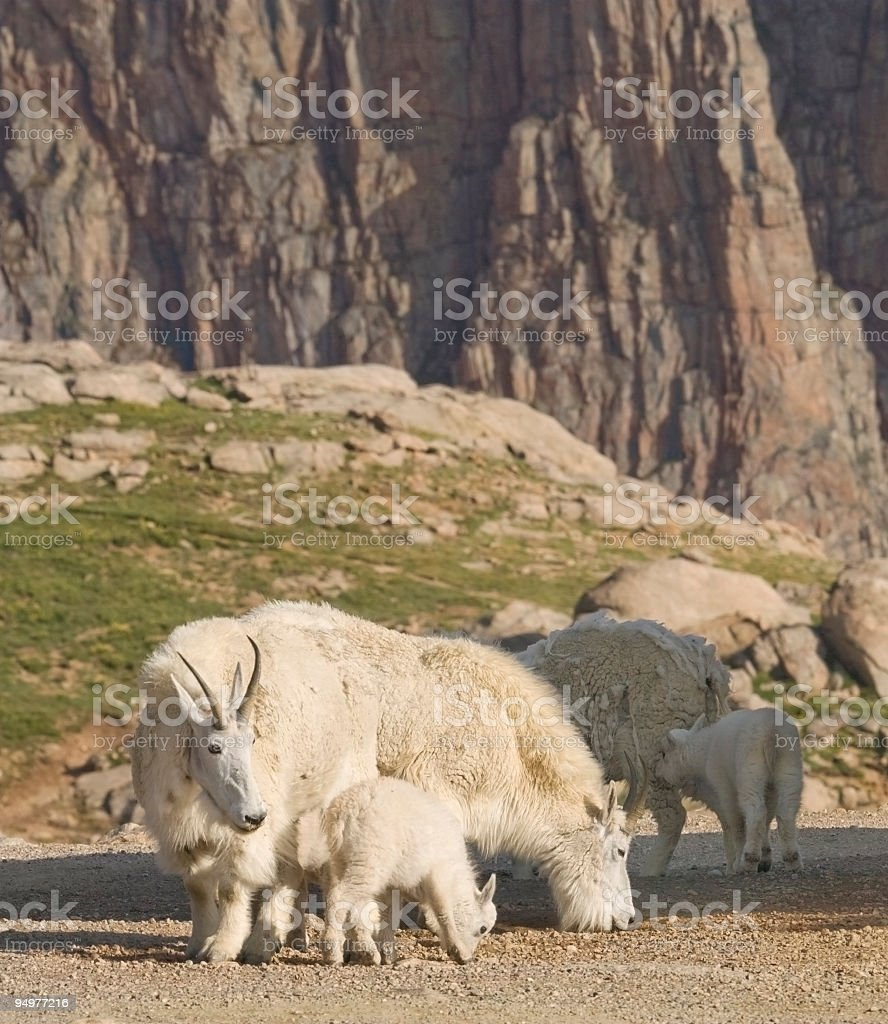 Rocky Mountain Goats and Granite Wall royalty-free stock photo