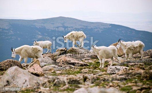 Rocky Mountain Goats shedding their winter coats