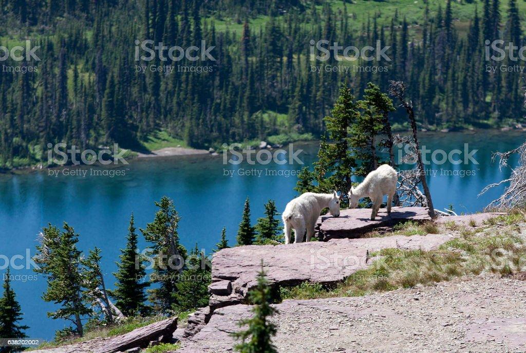 Rocky Mountain Goats stock photo