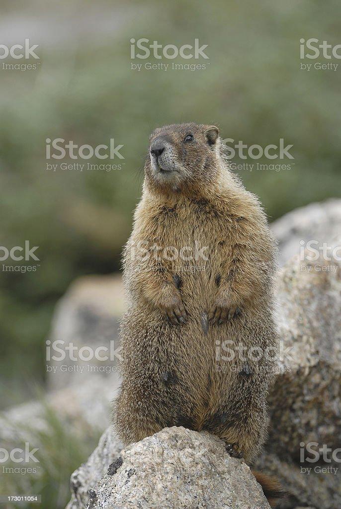 Rocky Mountain Marmot royalty-free stock photo