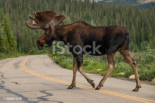 Bull Moose crossing the road.