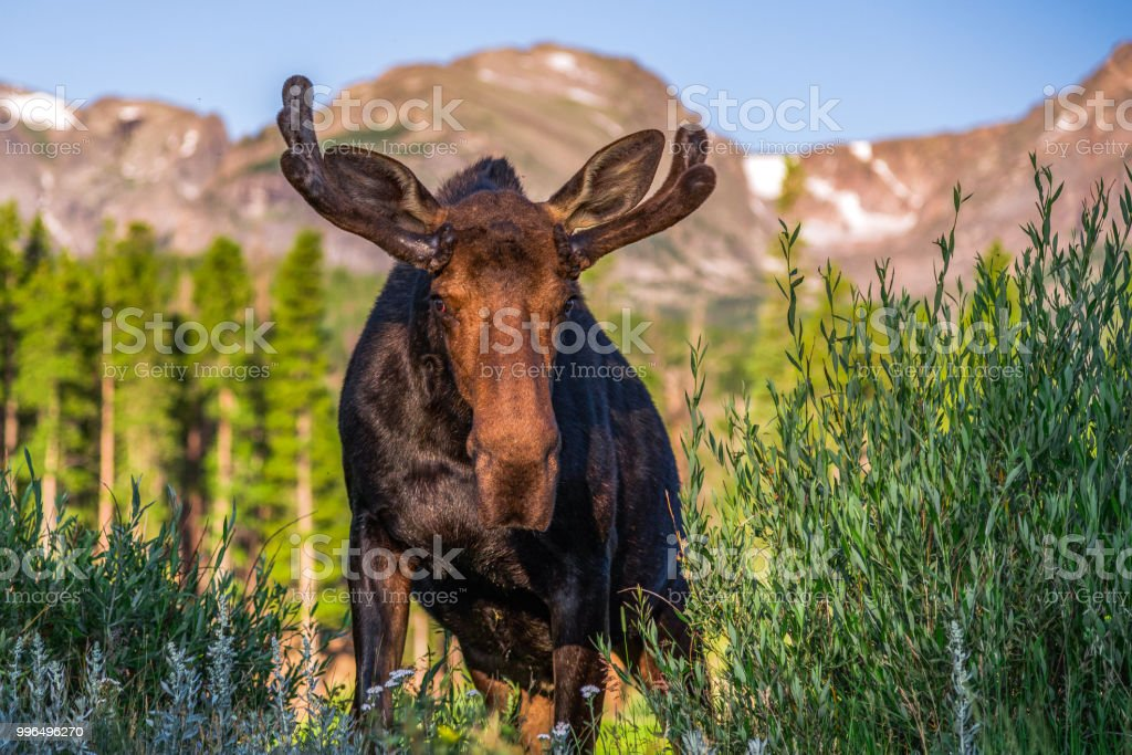 Rocky Mountain National Park Bull Moose stock photo