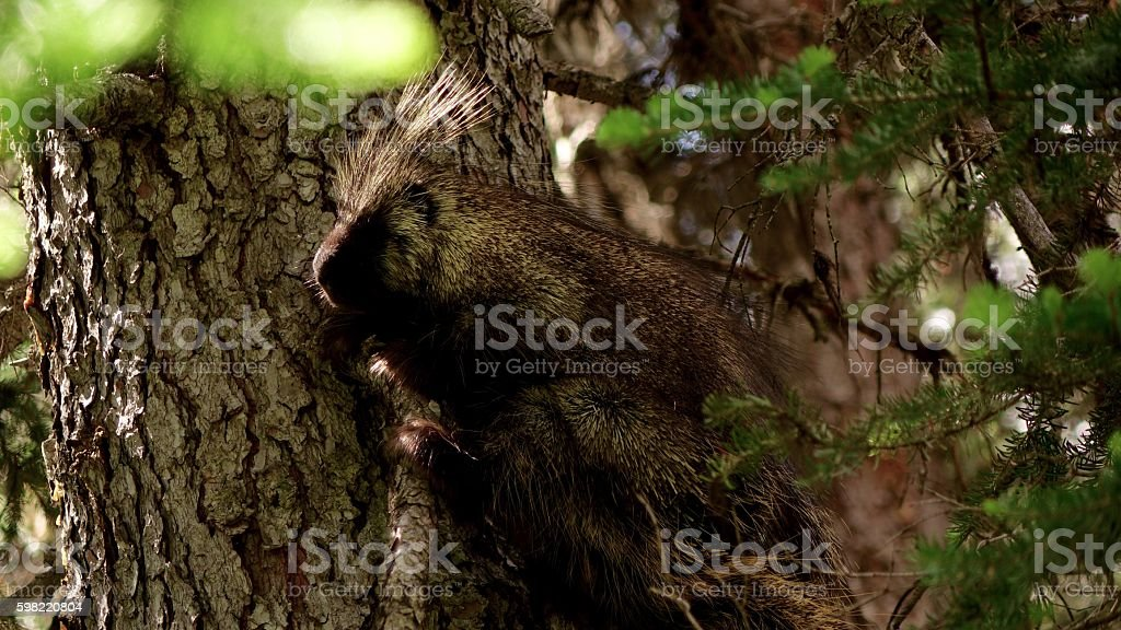 Rocky Mountain Porcupine foto royalty-free