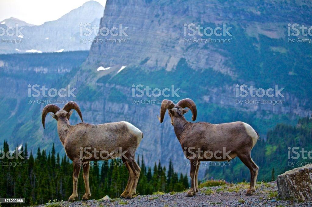 Rocky mountain sheep overlooking Caynon stock photo