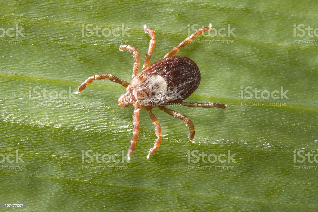 Rocky Mountain Wood Tick on Leaf, Colorado stock photo