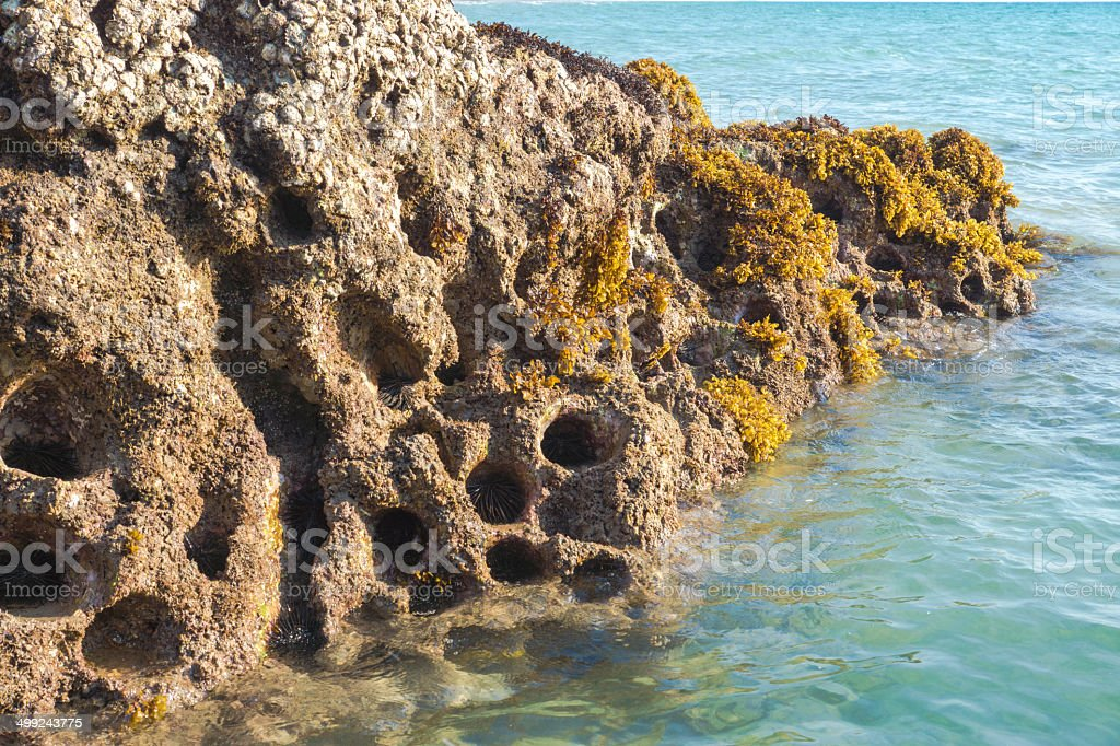 Rocky nest of sea -urchins and Seaweed (Sargassum sp.). royalty-free stock photo