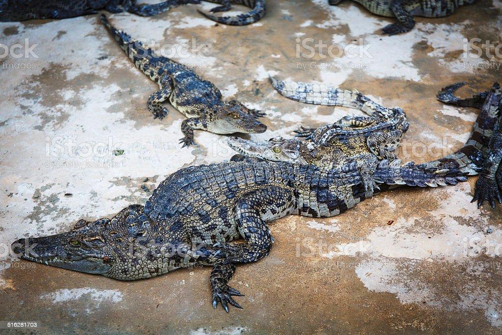 Сrocodiles stock photo