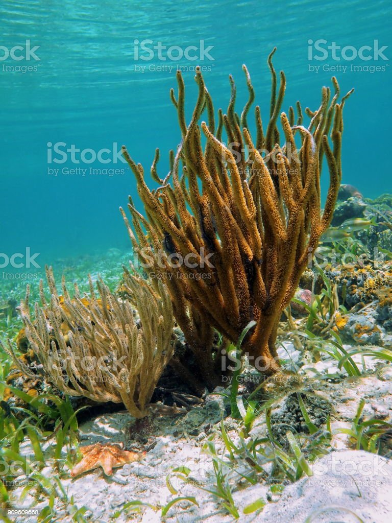 Rod corals in caribbean sea stock photo