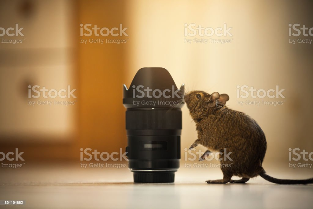 rodent degu and the lens royalty-free stock photo