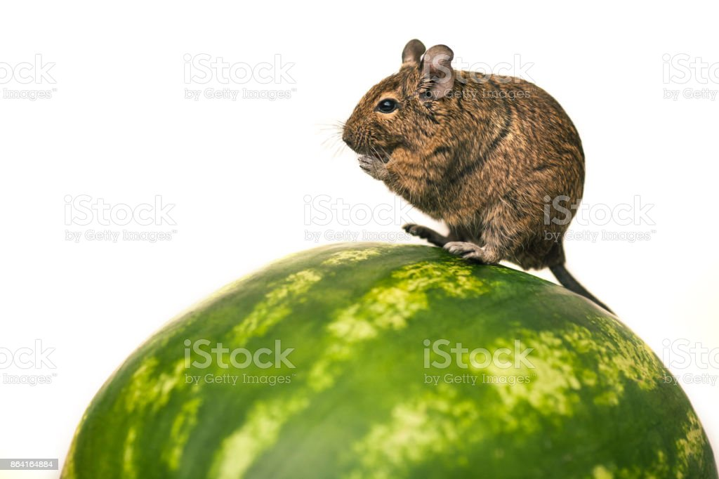 rodent degu on the watermelon royalty-free stock photo
