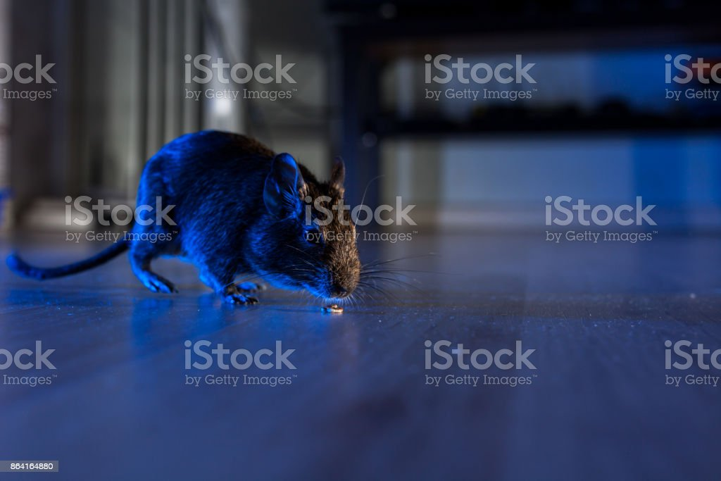 rodent degu stock photo