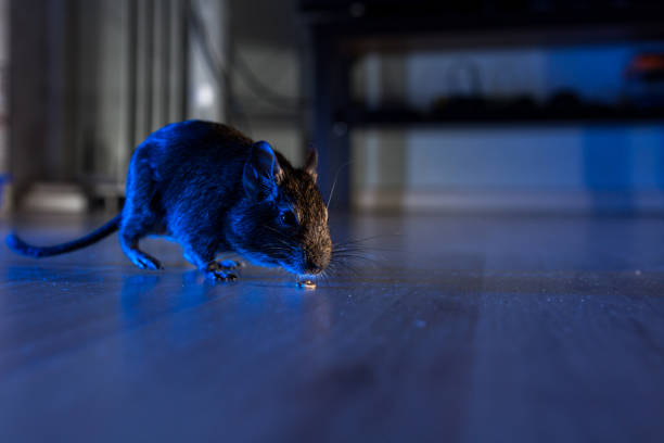 rodent degu rodent degu plays in room rodent stock pictures, royalty-free photos & images