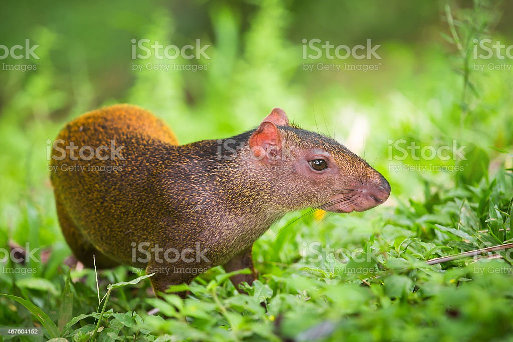 Rodent in Costa Rica,  Agouti stock photo