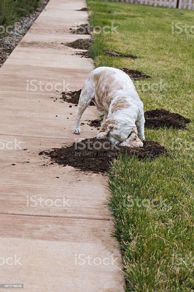 Rodents Tearing Up The Lawn royalty-free stock photo