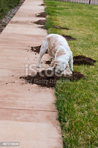 An American Cocker Spaniel is investigating to see who has been tearing up the lawn in his back yard.