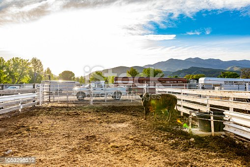 Rodeo Animals Penned in a Yard at a Stadium