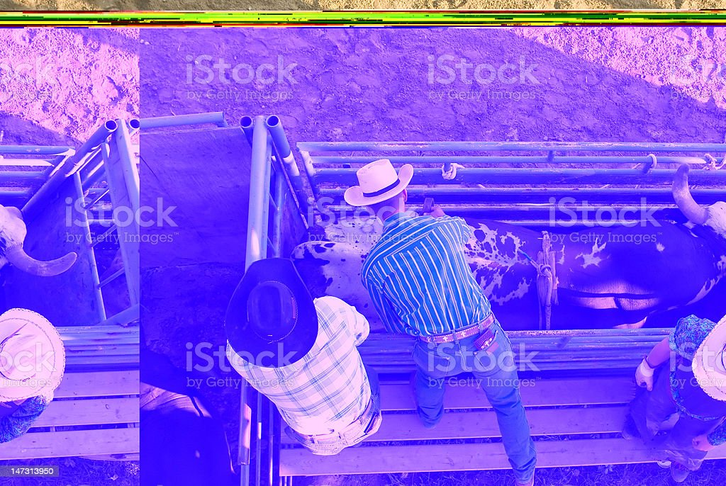 Rodeo crew preps bull for riding stock photo
