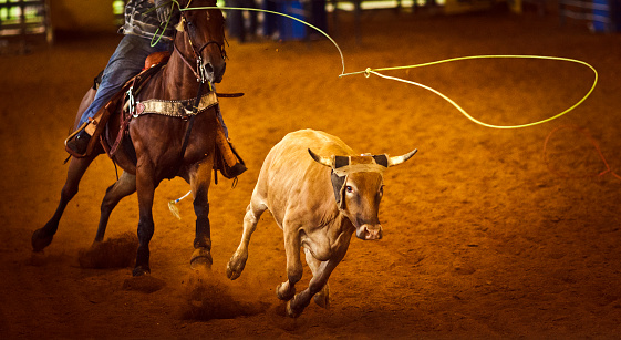 rodeo roping, steer about to be rope - vignette added for mood.
