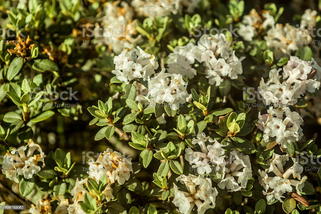 rododendron Adams flowers blossom stock photo
