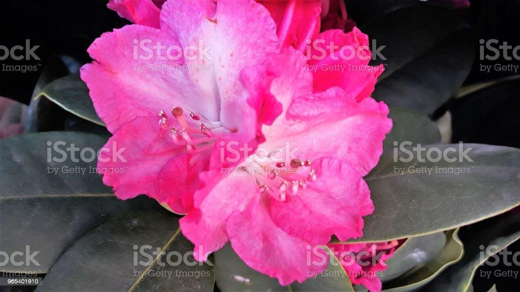 Rododendron - 로열티 프리 0명 스톡 사진