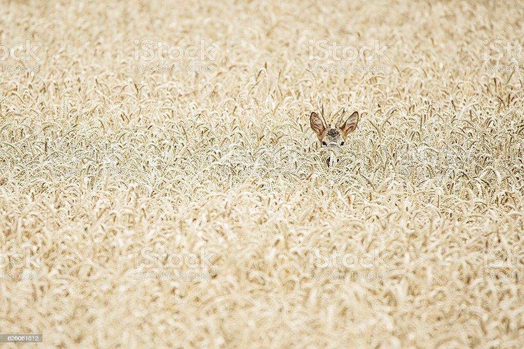 roe buck hidden in a wheat field stock photo