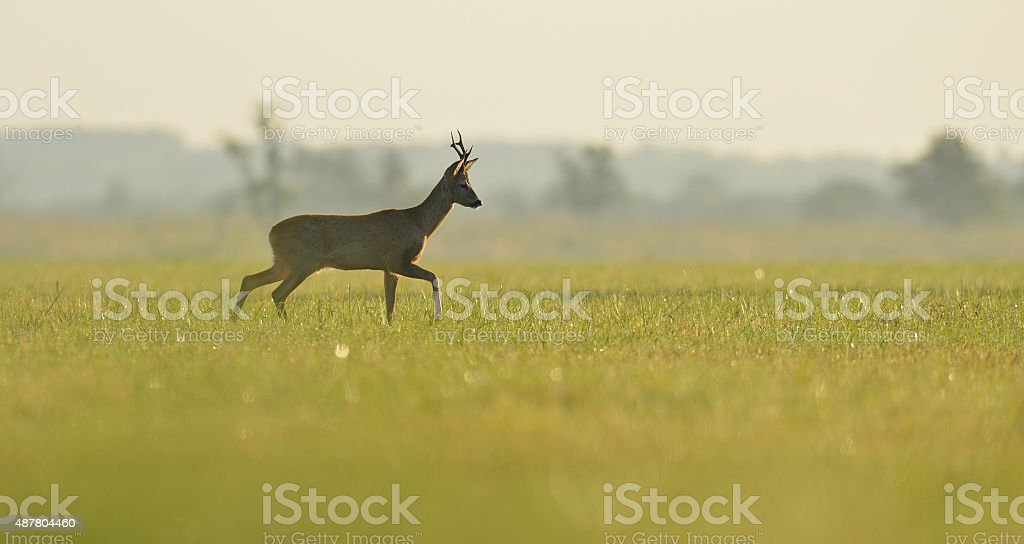 roe buck walking in the meadow stock photo