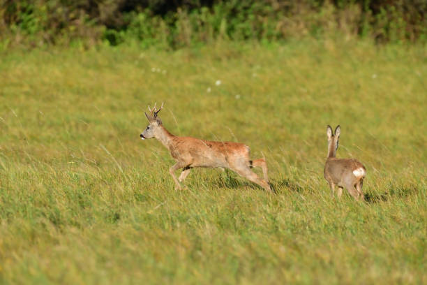 Roe deer and doe walking on the meadow with green grass stock photo