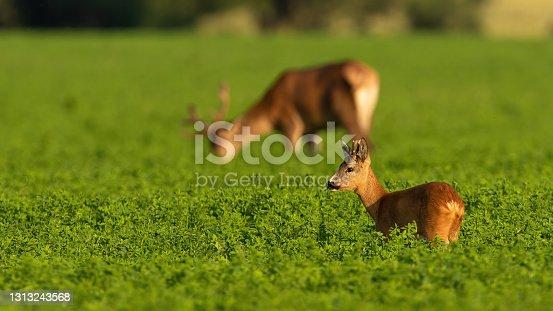 Roe deer, capreolus capreolus, and red deer, cervus elaphus, grazing in clover in summer light. Two different species of mammal feeding on field