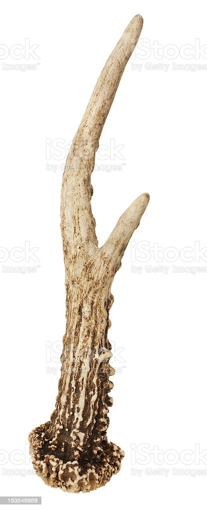 Roe Deer Antler stock photo