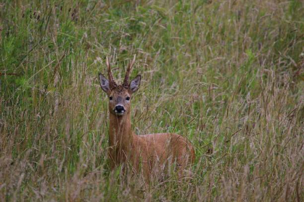 Roe deer buck in meadow grass Roe deer buck in meadow grass rutting stock pictures, royalty-free photos & images