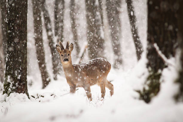 rehbock im winterwald mit schneefall - reh stock-fotos und bilder
