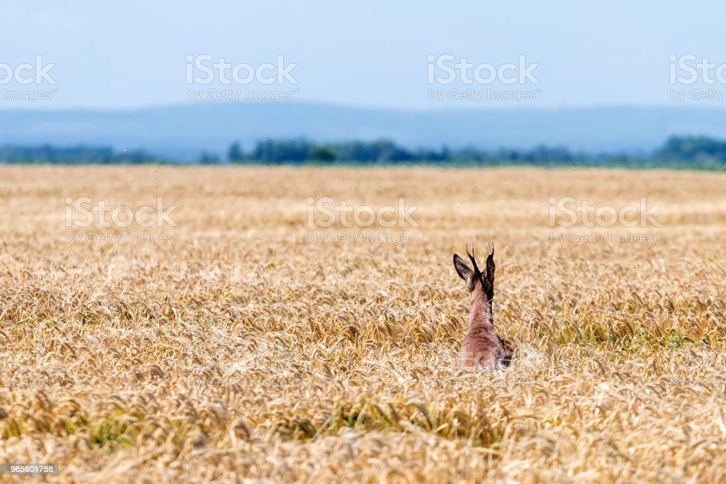 Roe Deer Buck jump in wheat field. Roe deer wildlife. - Royalty-free Animal Foto de stock