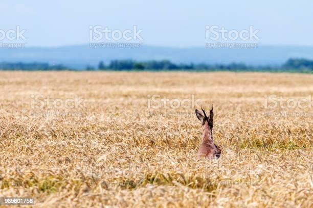 Roe Deer Buck Jump In Wheat Field Roe Deer Wildlife - Fotografias de stock e mais imagens de Animal