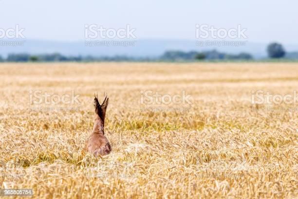 Roe Deer Buck Jump In Wheat Field Roe Deer Wildlife — стоковые фотографии и другие картинки Sprint