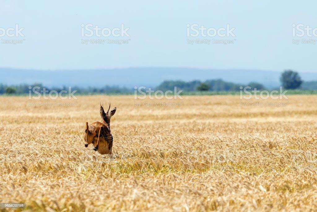 Roe Deer Buck jump in wheat field. Roe deer wildlife. - Royalty-free Activity Stock Photo