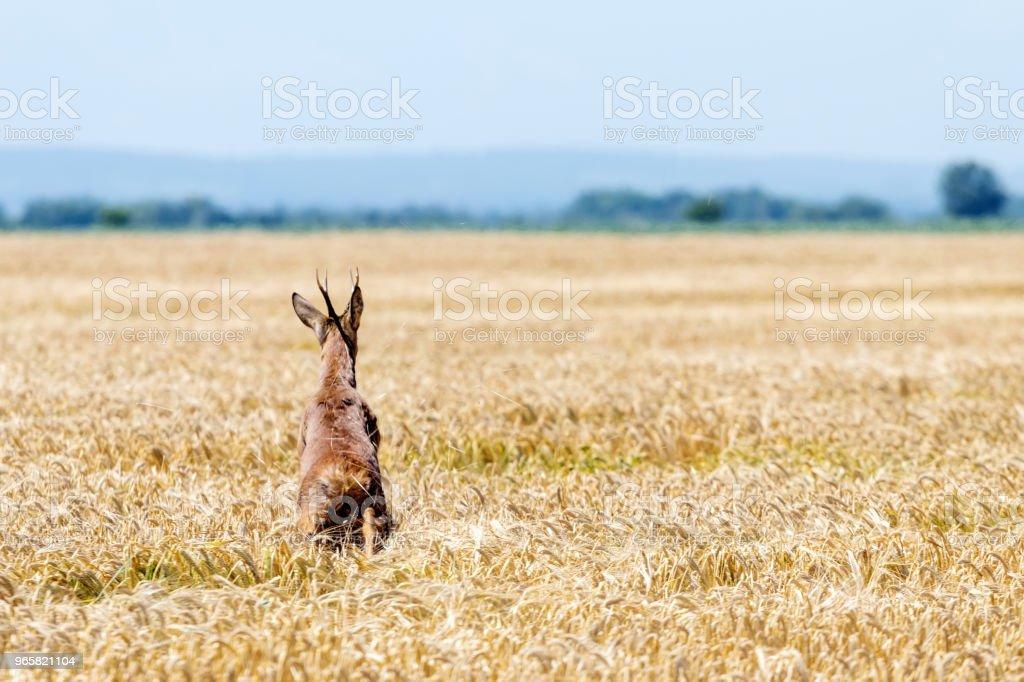 Reeën Buck springen in een tarweveld. Reeën wildlife. - Royalty-free Activiteit Stockfoto