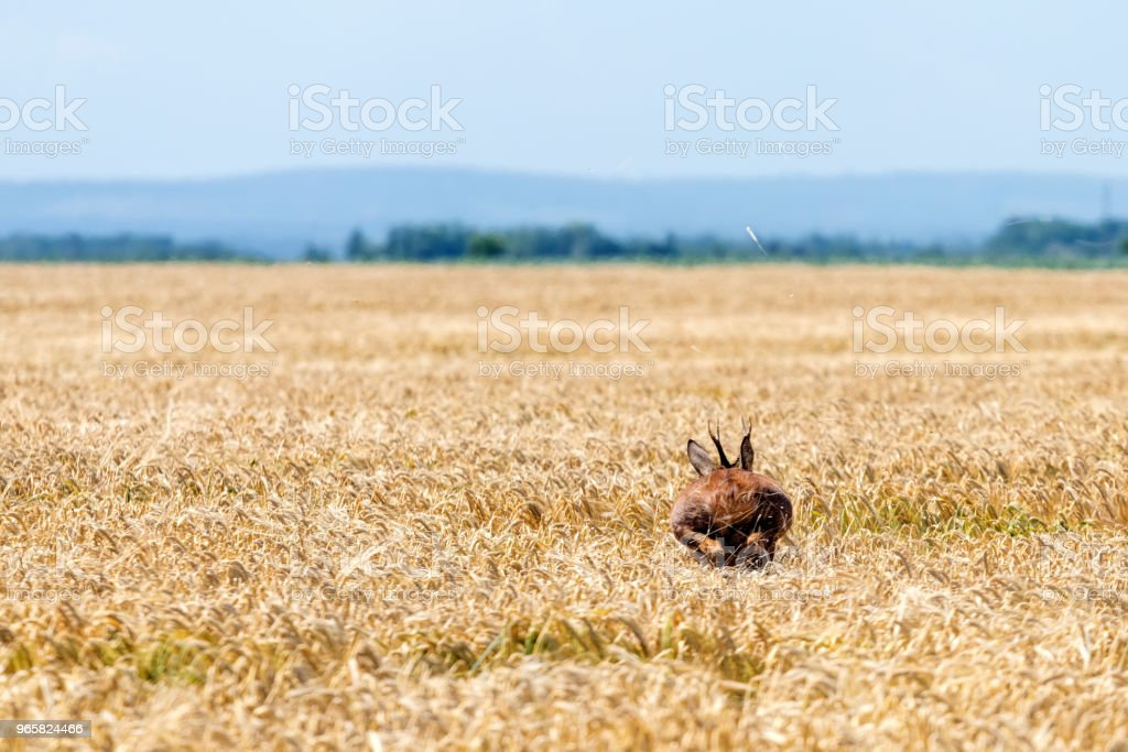 Roe Deer Buck jump in wheat field. Roe deer wildlife. - Royalty-free Activity Stock Photo