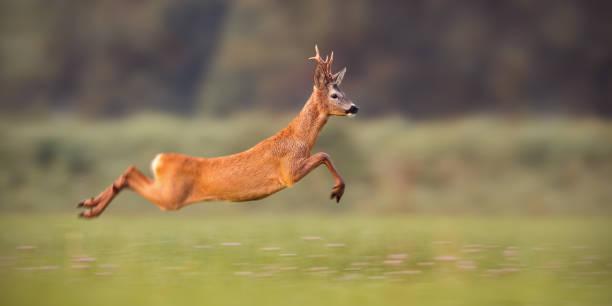roe reh buck springen schnell im sommer - reh stock-fotos und bilder