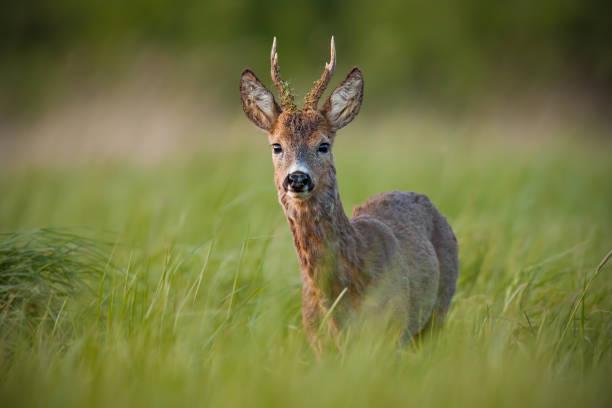 rehe, capreolus capreolus, buck im frühjahr bei sonnenuntergang. - reh stock-fotos und bilder