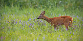 Roe deer, capreolus capreolus, buck in summer on a meadow full of flowers. Roebuck at sunset. Wild animal in natural environment. Cute wild male deer with space for copy.