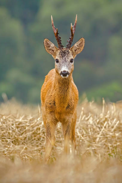 Roe Deer, Capreolus capreolus, buck with big antlers Roe Deer, Capreolus capreolus, buck with big antlers. Wild roebuck on a filed in nature. Wildlife scenery, vertical orientation. rutting stock pictures, royalty-free photos & images