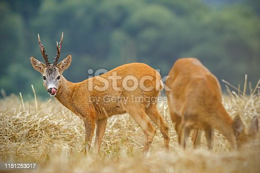 Roe deer, capreolus capreolus. couple during matting season. Male and female deer in natural environment. Roebuck watching doe lustfully in rutting season.