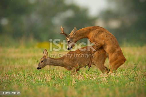 Roe deer, capreolus capreolus, couple copulating in mating season in summer. Wild animals reproducing. Mammals having sex. Mating behavior during rutting season in wilderness.