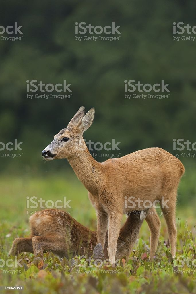 Roe deer doe feeding young fawn royalty-free stock photo