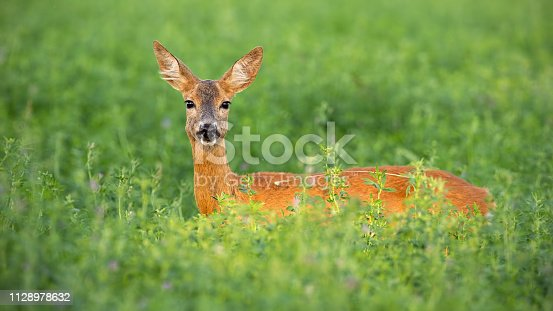 Roe deer, capreolus capreolus, doe standing out on clover field in summer. Female wild mammal hidden in high vegetation. Wildlife scenery with animal from nature.