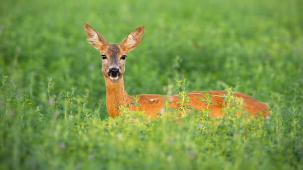 rådjur doe stående ute på klöver fältet i sommar - single pampas grass bildbanksfoton och bilder