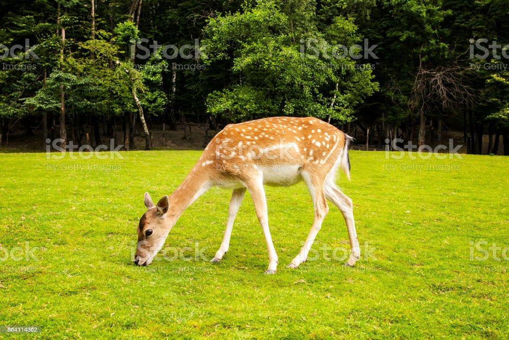 Roe Deer Eating royalty-free stock photo