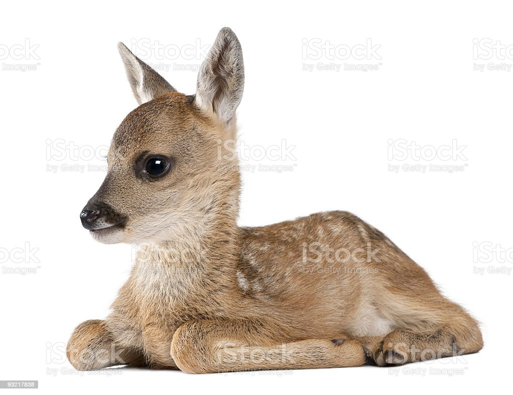 Roe deer Fawn lying down (15 days old) stock photo