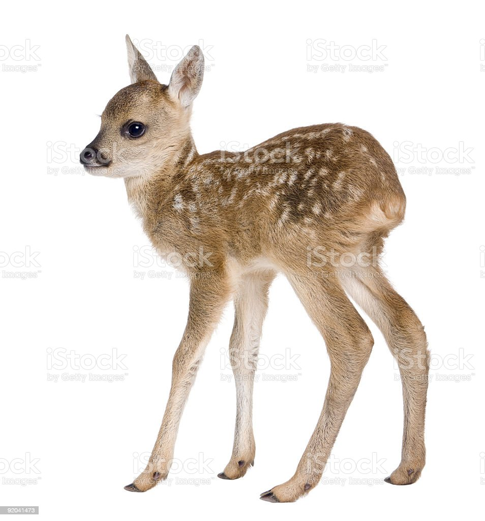 Roe deer Fawn (15 days old) stock photo